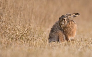 Grooming Brown Hare