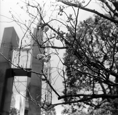(spring and electricity 4) (Dinasty_Oomae) Tags: street blackandwhite bw flower monochrome tokyo blackwhite wire  cherryblossom  zeissikon asakusa  utilitypole   taitoku          supersix