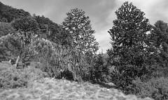 Araucaria (Chile) (sftrajan) Tags: bw tree primavera arbol berkeley april araucaria botanicgarden arbre baum springtime 2016 botanischergarten ogrdbotaniczny chileanplants southamericanplants universityofcaliforniabotanicgarden