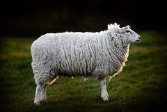 A sheep in the grounds of Wymondham Abbey, Norfolk (Jonathan Casey) Tags: england nikon farm norfolk f2 200mm d810