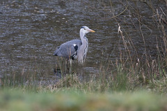 Heron (worlknut) Tags: heron canon grey flash 7d mk2 pennington