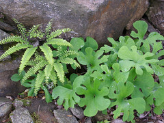 Maidenhair Fern and Bloodroot (Melinda Stuart) Tags: mountains fern leaves march nc spring bloodroot maidenhair blackstem