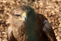 Tawny Eagles (NTG's pictures) Tags: wildlife centre lincolnshire seal eagles sanctuary tawny the mablethorpe