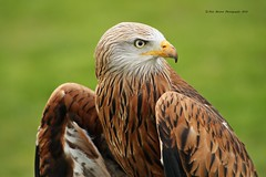 Red Kite Portrait Shot  (Captive)  2016 (peterbowen56) Tags: charity red kite bird nature birds project for spring feeding wildlife centre gloucestershire international raptor prey the newent