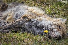 Raposo muerto - Dead fox (danielfi) Tags: naturaleza nature animals fauna ngc asturias fox animales zorro somiedo asturies raposu