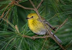 Pine Warbler (David Clippinger) Tags: bird birds warbler huestonwoods pinewarbler woodwarbler huestonwoodsstatepark
