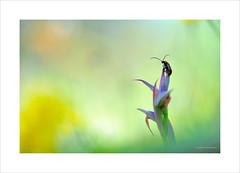 Saludos desde la atalaya (Toni Sanchis) Tags: planta blanco natura beatle orquidea insecto bichito serapiasparviflora tonisanchis