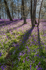 Dawn shadows (sophiaspurgin) Tags: wood morning trees lines bluebells sunrise shadows