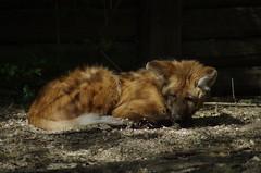 maehnenwolf (Ein Laecheln) Tags: zoo tiere mhnenwolf k5ii