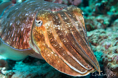 DSC01008-28.jpg (chasingphil) Tags: thailand similanislands kohbon wickeddiving