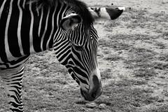 gestreift (phozuppel) Tags: zoo leipzig zebra gestreift schwarzweis 52wochenfotochallenge