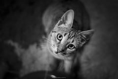(Katarina Drezga) Tags: cats cute cat kitten kittens felines domesticcat rescued nikkor50mm18g nikond3100