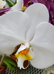 White Orchid (hpaich) Tags: park white plant orchid flower nature beauty newjersey nj greenhouse jersey middletown deepcut deepcutpark