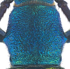 Polyzonus cuprarius Fairmaire, 1887 Pronotum (urjsa) Tags: china insect southeastasia sdostasien beetle insekt kfer coleoptera cerambycidae kaefer suedostasien polyzonus taxonomy:order=coleoptera taxonomy:family=cerambycidae geo:country=china pronotum coleopteraus taxonomy:species=cuprarius taxonomy:genus=polyzonus polyzonuscuprarius taxonomy:binomial=polyzonuscuprarius