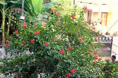 Amma's hibiscus flowers (Nagarjun) Tags: beauty spring kerala amma aluva samrajyalakshmi