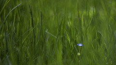 Where's your Mom, kid? (monorail_kz) Tags: blue wallpaper flower green grass vintage spring dof bokeh depthoffield april 169 helios442