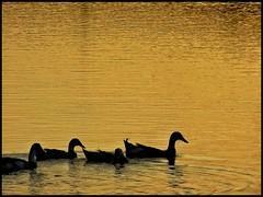 Itik Pulang Petang dan Itik yang Tak Ingin Pulang (thegunznroses1904) Tags: sunset sun water waves sony squareformat sonycamera kolam kemarau itik sonyalpha amateurtobepro