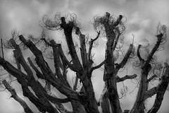 Trimmed to Death (Seeing Visions) Tags: california ca sky bw tree clouds dead la us losangeles unitedstates branches overcast monochromatic eaglerock 2016 raymondfujioka