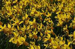 a host of golden daffodils (spencerrushton) Tags: uk flowers sun plant flower colour macro nature fleur beautiful yellow gardens canon garden spring model flor 100mm surry daffodil spencer blume wisley rhswisley manfrotto rhs flori fillinflash canonlens uknature manfrottotripod dethoffield canon100mmf28lmacroisusm spencerrushton 760d canon760d efcanon100mmf28lmacroisusm