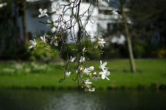 Rotterdam 10-04-2016 SM-22 (Pure Natural Ingredients) Tags: park flowers holland garden spring nikon d70 nederland thenetherlands sigma f18 f28 bloemen euromast zuid 105mm niceweather voorjaar schoonoord d90 50mmoutdoor botanicbotanishetuin