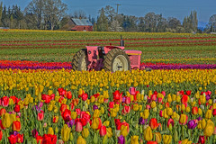 Little Pink Tractor (Kirt Edblom) Tags: pink flowers red usa plant tractor flower color green field yellow festival oregon landscape outdoors spring nikon purple tulips bright blossom outdoor scenic tulip bloom april wife hdr johndeere springtime tulipfestival woodburn kirt 2016 woodenshoetulipfestival willamettevalley rainbowcolors gaylene woodburnoregon easyhdr pinktractor edblom nikond7100 spring2016 woodenshoefarms kirtedblom