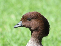 Male Australian Wood Duck (WA47) Tags: australia westernaustralia anatidae anseriformes chenonettajubata australianwoodduck chenonetta tomatolake kewdale