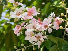 P4162933 (tatsuya.fukata) Tags: flower thailand samutprakan