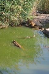 Crocs (cn174) Tags: india nationalpark tiger tigers rajasthan ranthambhore tigerreserve ranthambhorenationalpark ranthambhorebagh