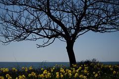 (tpatt83) Tags: ocean cliff flower island spring nikon surf walk newport breakers rhode daffodils 2016