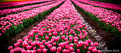 Splash of Tulips (ninaflynnphotography) Tags: lighting uk travel pink flowers plant canon colours tulips farming norfolk alignment vibrance kingslynn blackboroughend canoneos5dmarkiii ninaflynnphotography spring2016 ninaflynn2016