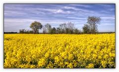 Colza (1) (au35) Tags: nature yellow jaune plante nikon culture champ plaine colza deuxsvres d5000