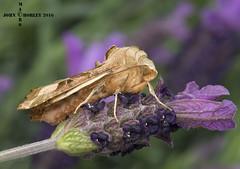 Angle shades moth on butterfly lavander (John Chorley) Tags: macro nature closeup nikon close purple moth n lavender macros closeups macrophotography poplarhawkmoth nikkor105mmlens johnchorley