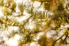 Multiple Nature 329 (pni) Tags: light suomi finland helsinki dof bokeh multipleexposure needle bubble helsingfors tripleexposure multiexposure scotspine skrubu pni pekkanikrus