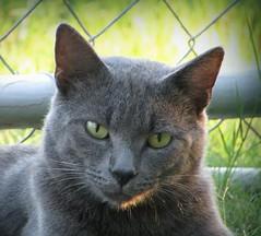 Mango (CatnessGrace) Tags: cats green nature portraits grey chats eyes feline chat gatos greeneyes gato felines katze cateyes gatto katzen greycats petportraits catportraits animalportraits catfaces