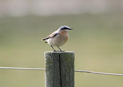 Wheatear (NickWakeling) Tags: nature birds wildlife norfolk salthouse northnorfolk canonef400mmf56lusm canon60d