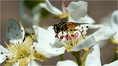 Fly and Blossom (Hindrik S) Tags: flower macro nature closeup garden insect fly spring sony natuur creation pear tuin tamron 90mm lente insekt bloesem par peer hoverfly frhling blossem a57 naturesfinest zweefvlieg schepping sonyalpha tamronspaf90mmf28dimacro tn maitiid naturewatcher natoer skepping sonyphotographing blomkes slta57 57 sweefmich