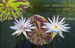 Nymphaea 'Avalanche' (bric) Tags: flowers kewgardens waterlillies