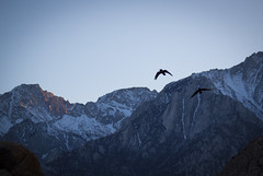 Forever Yours: Raven Mates (Life_After_Death - Shannon Day) Tags: life california road blue sunset sky mountain mountains bird art nature birds rock stone pine forest canon movie landscape outdoors photography eos death fly flying rocks day arch mt desert natural outdoor nevada alabama wing sierra hills shannon national whitney mojave granite lone after archway mtwhitney dslr mate mountwhitney raven mates canondslr canoneos ravens alabamahills inyo lifeafterdeath 50d shannonday canoneos50d eosdslr canoneos50ddslr lifeafterdeathstudios lifeafterdeathphotography shannondayphotography shannondaylifeafterdeath lifeafterdeathstudiosartandphotography shannondayartandphotography