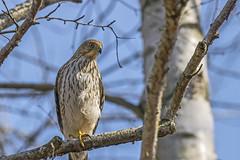 Cooper's Hawk (Miguel de la Bastide) Tags: wild ontario canada bird nature outdoors nikon outdoor hawk wildlife whitby coopers tamron birdofprey coopershawk lyndeshoresconservationarea d5300 150600mm