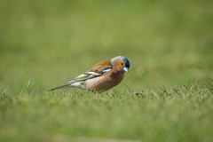 Common chaffinch (Fringilla coelebs) (Steven Whitehead) Tags: wild nature grass forest canon wildlife 500mm chaffinch ashdown 2016 wildbirds 500mmf4 canon500mm 500mmf4is canon5dmk3