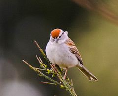 chipping sparrow showing crown (trak_mac) Tags: sparrow chipping