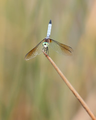 Dragonfly (Bill McBride Photography) Tags: nature canon insect eos wings florida dragonfly bokeh wildlife melbourne wetlands april fl viera 2016 70d ef100400l ritchgrissommemorial