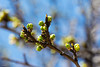 Requisite Springtime Budding Photo (Andy Marfia) Tags: blue chicago macro tree green spring branches bloom andersonville f8 budding springtime 105mm 1320sec iso180 d7100