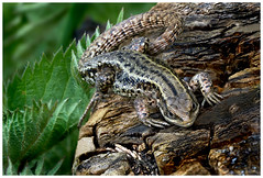 Lizard. (vegetus aer) Tags: none wildlife lizard cambridgeshire wildlifetrust woodwaltonfen greatfen greatfenproject bcnwildlifetrust