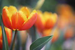 Tulip Lambada (lfeng1014) Tags: toronto macro closeup dof bokeh depthoffield greenhouse tulip macrophotography  lifeng centennialparkconservatory canon5dmarkiii 100mmf28lmacroisusm tuliplambada tulipdavenport