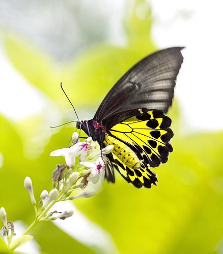 Cairns birdwing butterfly (EXPLORED 26/4/2016)