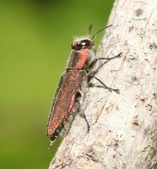 Anthaxia manca (Pietro Niolu) Tags: sardegna uri coleoptera buprestidae anthaxia anthaxiamanca