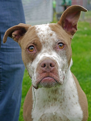 Emiglia_01 (AbbyB.) Tags: rescue dog pet newjersey canine shelter adopt shelterpet petphotography easthanovernj mtpleasantanimalshelter