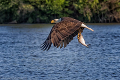 Shad on the Talons (dngovoni) Tags: fish bird water sunrise river virginia spring eagle action background wildlife raptor jamesriver