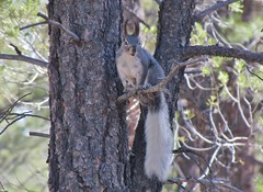 Abert's Squirrel, Grand Canyon National Park (wldrns) Tags: arizona southrim grandcanyonnationalpark kaibabplateau abertssquirrel southrimgrandcanyon